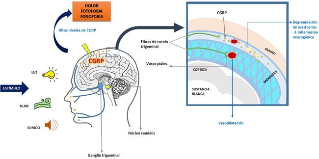 Neuropéptido CGRP
