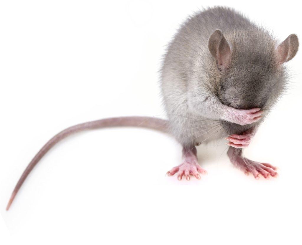 Estudios en ratones de laboratorio muestran que hay menor resistencia a estresores cuando se viven situaciones de estrés durante la lactancia o adolescencia