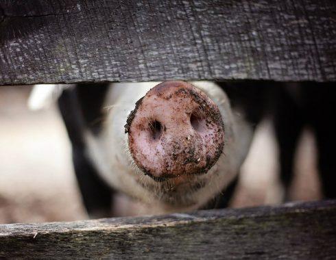 ¿Los antibióticos usados en animales tienen efectos negativos en la salud humana?