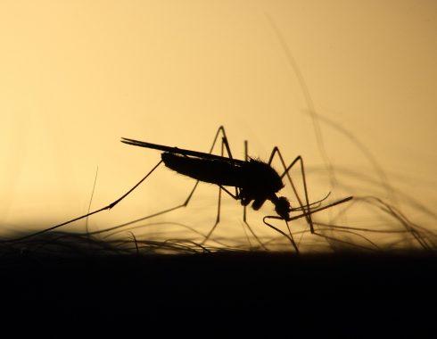 Estudian relación del virus del dengue como agente protector contra el virus de Zika