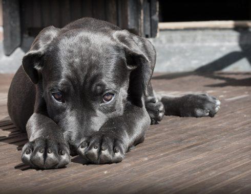 Los perros son propensos a padecer ansiedad