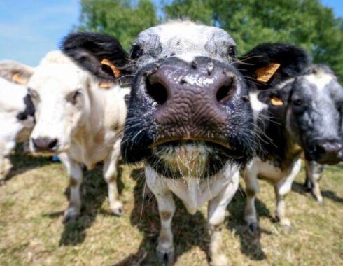 Anticuerpos bovinos para prevenir y tratar la COVID-19