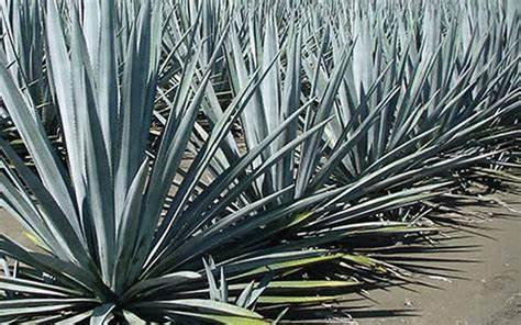 Qué es la inulina de agave y para qué sirve